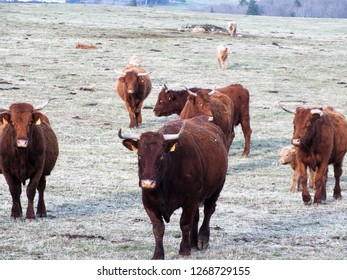 Salers, breed of red cattle originated in Cantal (France)