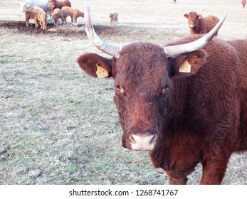 Salers, breed of red cattle originated in Cantal (France).  Selective focus.