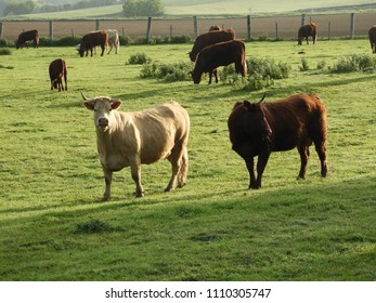 Salers cattle (Bos Taurus): cattle in a field on a spring morning