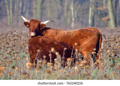 Salers cattle herd on a meadow in fall