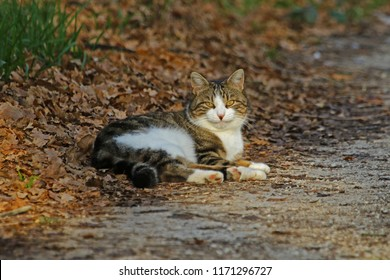 Sales mean a donation to Blue Cross animal charity. A tabby cat with a Cheshire cat smile playing in the autumn leaves in fall in Italy. Once abandoned in Colfiorito, Umbria now a happy young man.