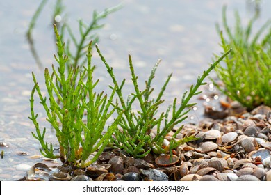 Salicornia edible plants growing in salt marshes, beaches, and mangroves, named also glasswort, pickleweed, picklegrass, marsh samphire, mouse tits, sea beans, samphire greens or sea asparagus.