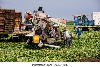 Salinas, CA, July 29, 2010: Farm workers toil in the lettuce field to bring the harvest to mraket.