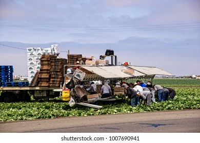 Salinas, CA, July 29, 2010: Farm workers toil in the lettuce field to bring the harvest to market.