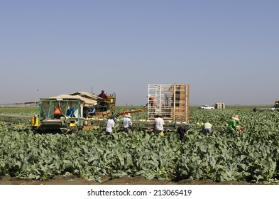 SALINAS, CA, USA - JUNE 30, 2014: Farm workers using a unique conveyor belt system to harvest cauliflower from a field.