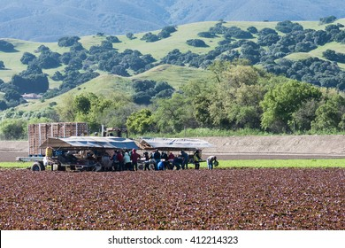 Salinas, California, USA - April 15, 2016: Seasonal agricultural field workers cut and package lettuce, directly in the fields, ready for shipping, in the Salinas Valley of central California.