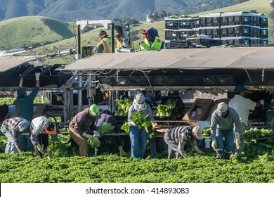 Salinas, California, USA - April 19, 2016: Seasonal agricultural field workers, immigrants, cut and package lettuce, directly in the fields, ready for worldwide shipping (footage available).