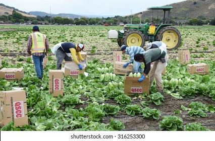 Salinas, California - USA; July 1, 2015: Agricultural seasonal immigrant (migrant) field (farm) workers harvest and package (box) Romaine lettuce in the fields of Salinas Valley of central California.