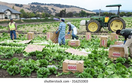 Salinas, California - USA; July 1, 2015: Romaine lettuce is harvested in the lettuce fields the Salinas Valley of central California.