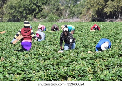 Salinas, California, USA - June 19, 2015: Seasonal field (farm) workers (men and women) pick and package strawberries directly into boxes in the Salinas Valley of central California.