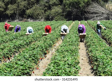 Salinas, California, USA - June 19, 2015: Immigrant (migrant) seasonal farm (field) workers pick and package crops (strawberries) directly into boxes in the Salinas Valley of central California.