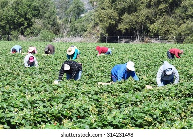 Salinas, California, USA - June 19, 2015: Seasonal farm workers pick and package strawberries directly into boxes in the Salinas Valley of central California.