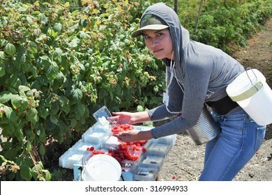 Salinas, California, USA - June 29, 2015:  An agricultural farm worker picks raspberries and packages them directly into boxes, ready to be shipped, in the Salinas Valley of central California.