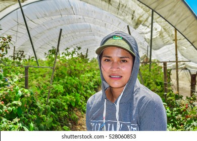 Salinas, California, USA - June 29, 2015: An agricultural farm worker takes a break from picking raspberries, under a greenhouse tent, in the Salinas Valley of central California.