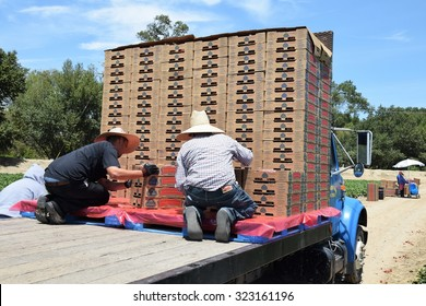"""Salinas, California, USA - June 30, 2015: Migrant field (farm) workers load boxes of freshly picked strawberries onto a flatbed truck in Salinas Valley, """"Salad Bowl of the World""""."""