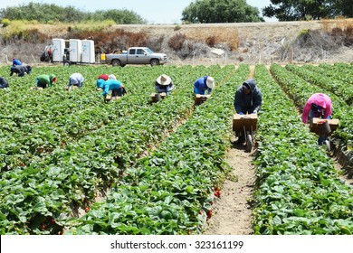 Salinas, California, USA - June 30, 2015: Seasonal agricultural field (farm) migrant workers pick strawberries and package them directly in the field, ready for shipping.