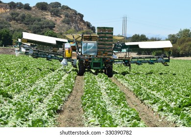 Salinas, California, USA - June 30, 2015: Freshly cut heads of iceberg lettuce are boxed directly in the fields, using a unique conveyor belt system, ready for shipping, during the lettuce harvest.