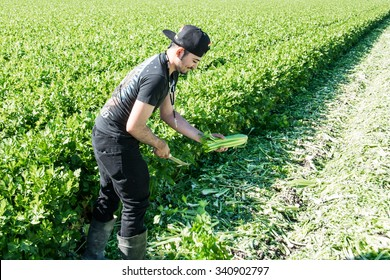 Salinas, California, USA - November 1, 2015: An agricultural field worker cuts celery in the Salinas Valley of central California.