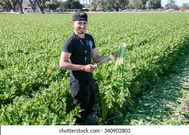 Salinas, California, USA - November 1, 2015: An agricultural field (farm) worker (cuts harvests) celery plants with a knife, in the fields of the Salinas Valley of central California.