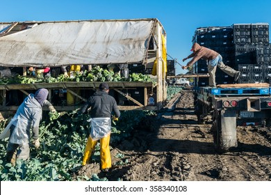 Salinas, California, USA - November 14, 2015: Agricultural farm workers harvest fresh broccoli. They cut and box the crop and load flatbed trucks, directly in the fields, ready for worldwide shipping.