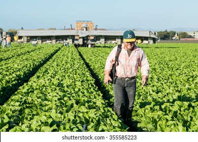 Salinas, California, USA - October 29, 2015: An agricultural farm worker crosses through a  field after a long day of harvesting lettuce the the Salinas Valley.
