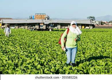 Salinas, California, USA - October 29, 2015: An agricultural farm worker crosses through a field after a long day of harvesting lettuce.