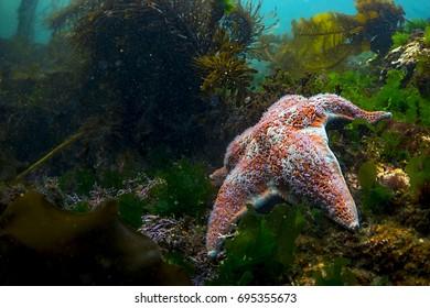 Salish Sea Starfish