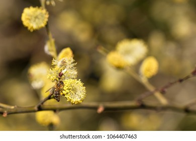 Salix caprea - closeup of yellow blossoms on branches of a pussy willow and a collecting busy bee. Willow blossoms are valuable as early source of pollen and nectar from which bees can make honey.