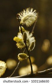 Salix caprea, goat willow, great sallow