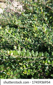 Salix repens or creeping willow green plant
