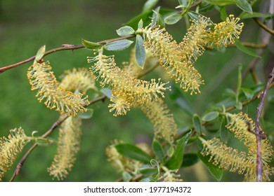 Salix triandra. Willow male flowers. Willows are dioecious plants, with male and female flowers appearing as catkins on separate plants. The catkins are produced early in the spring