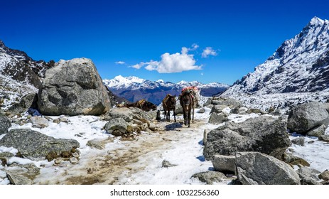 SALKANTAY MOUNTAIN - PERU AUGUST 2017 - Mules walking down Salkantay Mountain in Peru.