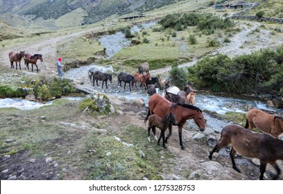 Salkantay, Trail, Cusco Province, Peru - May 8th, 2016: A team of horses, led by their local Inca guide, navigate the Andes mountains on the Salkantay Trail towards Machu Picchu.