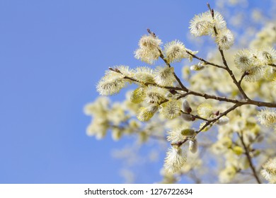 Sallow catkins on a sunny spring day
