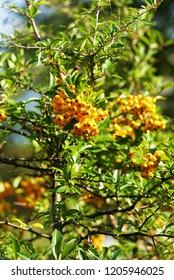 Sallow thorn - Hippophae rhamnoides