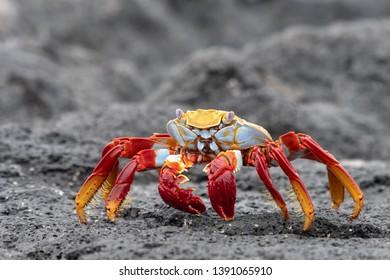 Sally Lightfoot Crab (Grapsus grapsus) At Chinese Hat