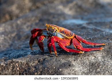 Sally Lightfoot Crab (Grapsus grapsus) - At Mosquera Island