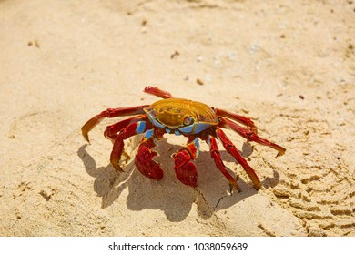 Sally Lightfoot Crab (Grapsus grapsus) on yellow sand, Galápagos Islands, Ecuador, South America