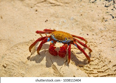 Sally Lightfoot Crab (Grapsus grapsus) on yellow sand, Galápagos Islands, Ecuador, South America