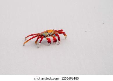 Sally Lightfoot Crab Grapsus grapsus on yellow sand, Galapagos Islands, Ecuador, South America