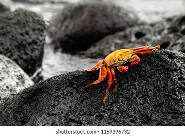 Sally Lightfoot Crab on the rocks in the Galapagos Islands