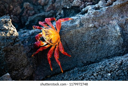 Sally Lightfoot Crab on Rocks in the Galapagos Islands (Ecuador)