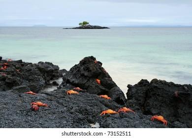 Sally Lightfoot Crabs - Galapagos Islands