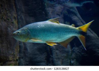 Salminus brasiliensis (dourado, dorado, golden dorado, river tiger, jaw characin).