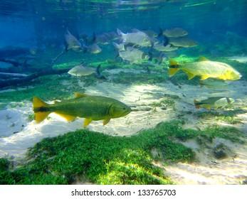 Salminus Fish