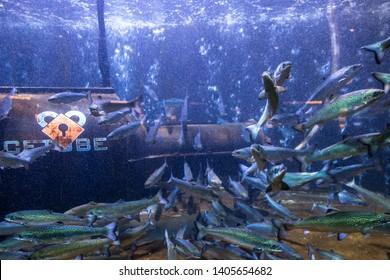 Salmon at Bergen Aquarium, the largest aquarium in Norway and one of Bergen's biggest tourist attractions. Bergen, Norway, August 2018