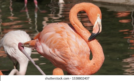 Salmon Colored Flamingo Not Bothered by the Flies - Unedited