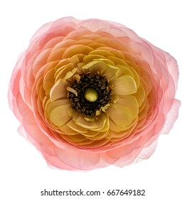 Salmon colored Ranunculus (persian buttercups), isolated on white background. Top view.