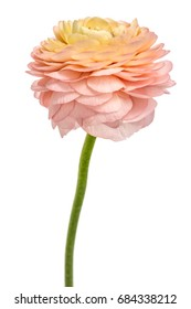 Salmon colored Ranunculus (persian buttercups), isolated on white background.