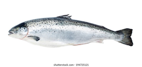 Salmon fish isolated on white